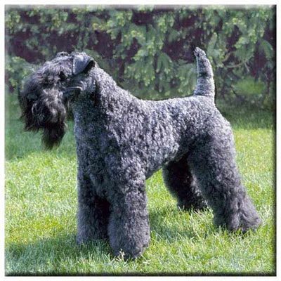 Kerry Blue Terrier  Tile