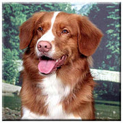Nova Scotia Duck Toller  Tile