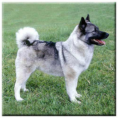 Norwegian Elkhound  Tile