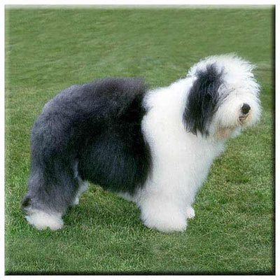 Old English Sheepdog  Tile