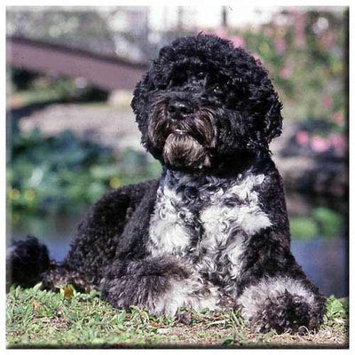 Portuguese Water Dog  Tile