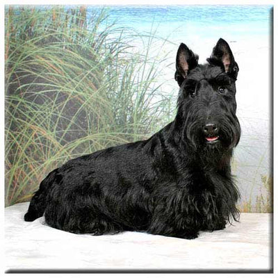 Scottish Terrier  Tile