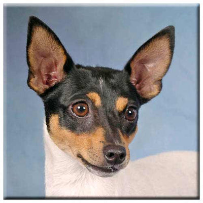 Toy Fox Terrier  Tile