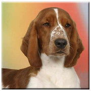 Welsh Springer Spaniel  Tile