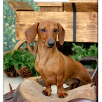 Dachshund - Smooth Luggage Tag