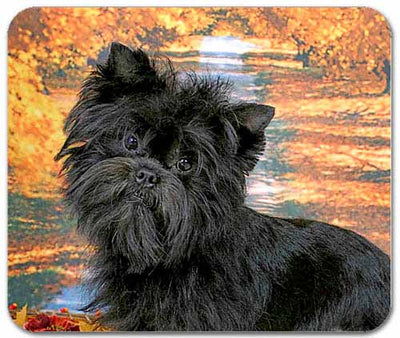 Affenpinscher Earrings