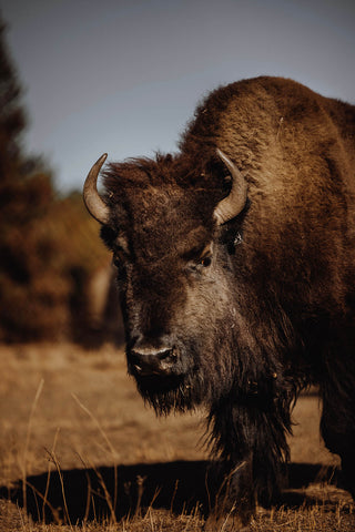 Sustainable American Bison Leather