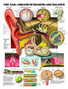 The Ear-Organs of Hearing & Balance