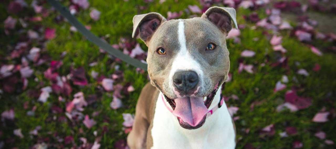 The Best Collars for Pitbulls