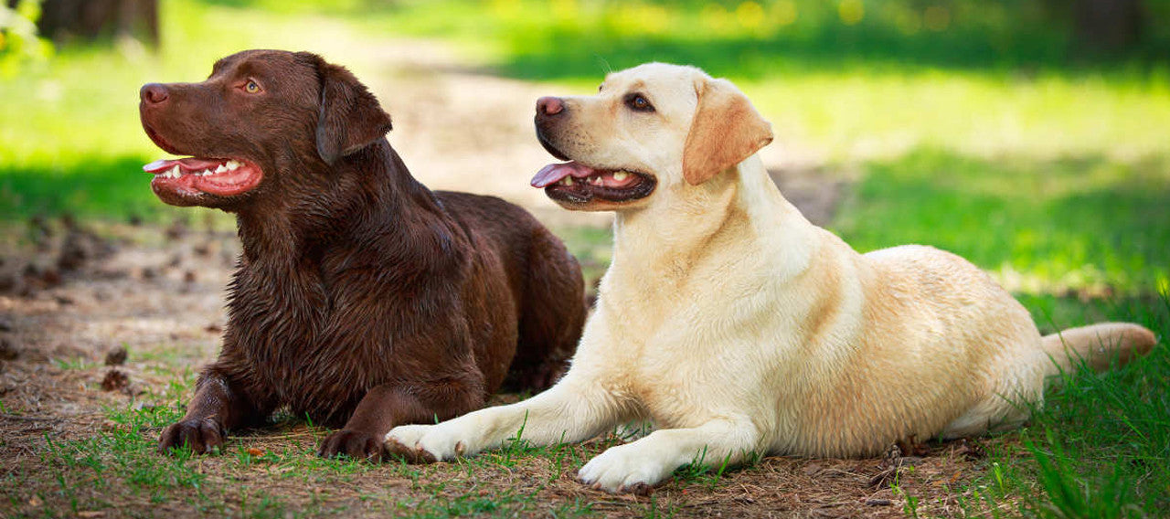 Best Collars for Golden Retrievers and Labrador Retrievers