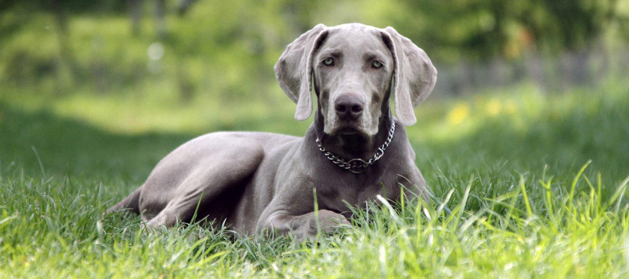 The Sporting Group - Weimaraner