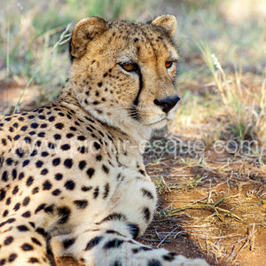A majestic Cheetah in the beautiful country of South Africa