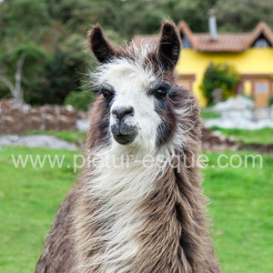 Llama Blank Greetings Card