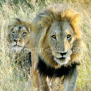 'Lions' Blank Square Greetings Card