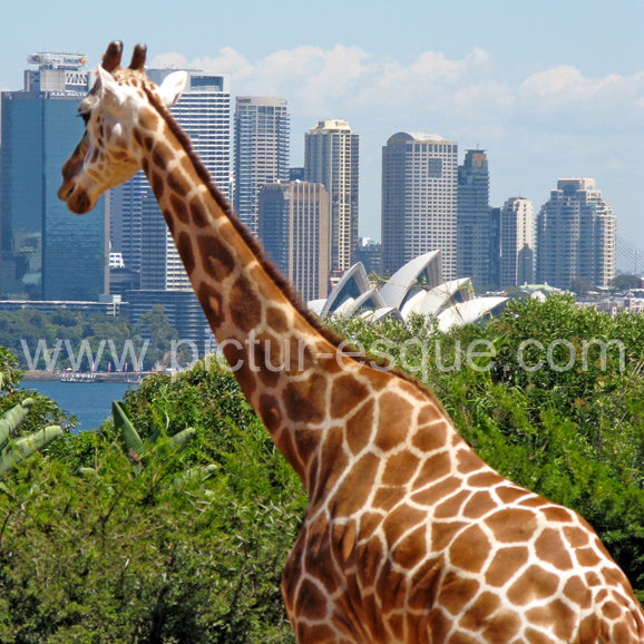 Giraffe Lost in the City