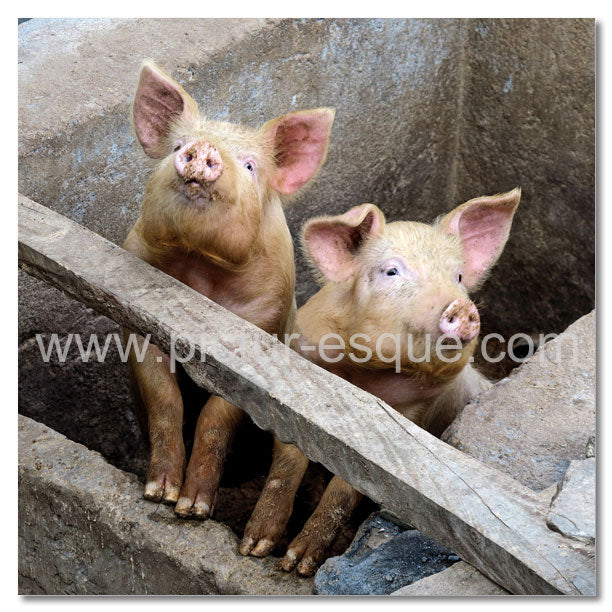 Two inquisitive pigs