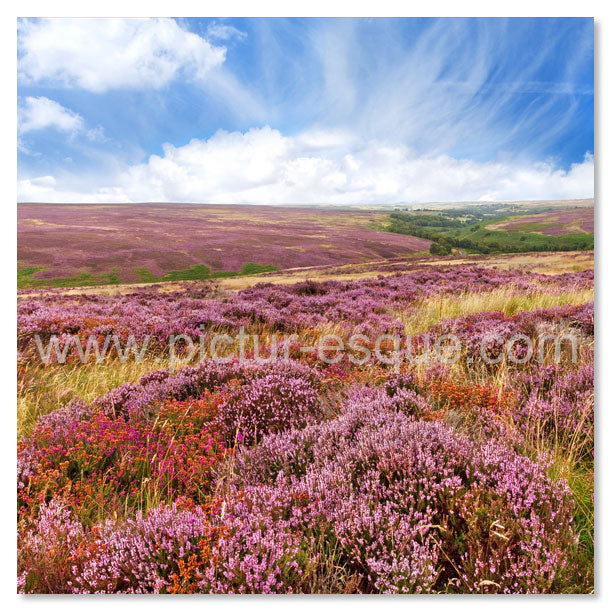 North York Moors Heather Blank Card by Charlotte Gale