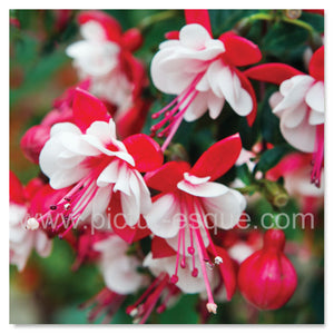 A vibrant display of fuchsia flower heads