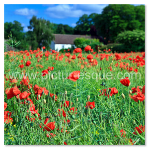 Poppy field card Goldsborough near Knaresborough Yorkshire