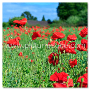 Poppies, North Yorkshire