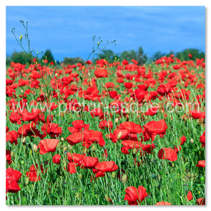 A dazzling array of poppies in the countryside