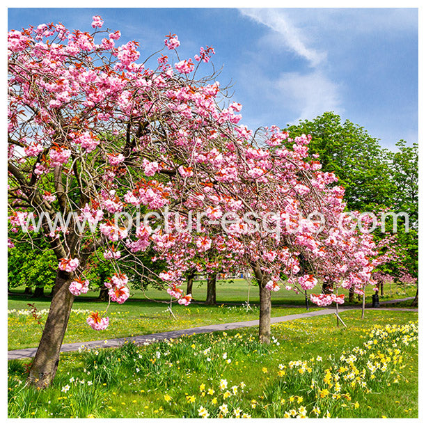 Blossom Trees Harrogate Blank Greetings Card