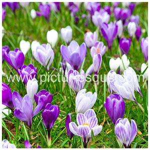 Crocuses Blank Greetings Card