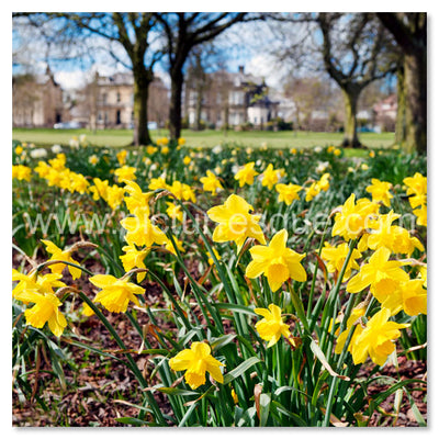 Daffodils on The Stray in Harrogate