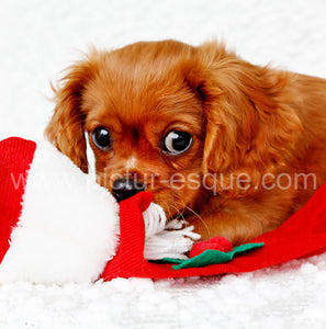 Single Cavalier King Charles Christmas Card