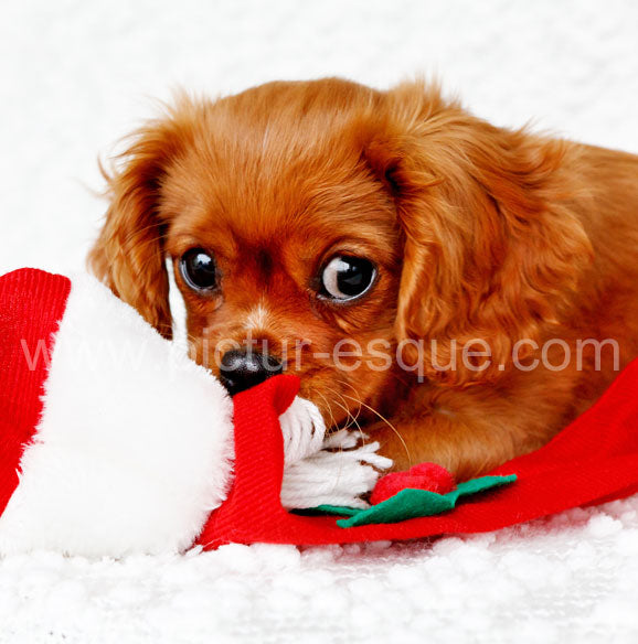 Cavalier King Charles Spaniel square Christmas Card
