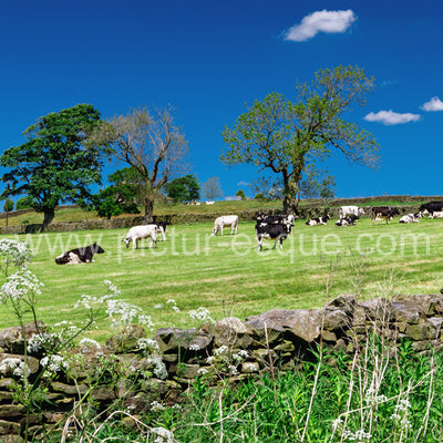 Cows grazing in Nidderdale North Yorkshire