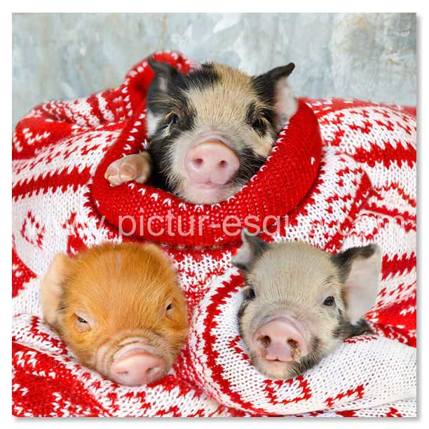 Christmas Pigs.6 Pigs In Blankets Square Christmas Cards