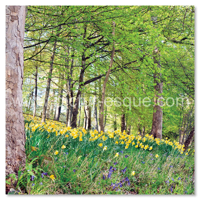 Easter card featuring a wood full of daffodils by Charlotte Gale