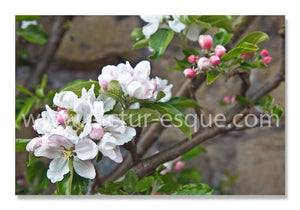 Apple Blossom Blank Notecards