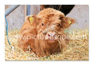 Blank 'Highland Calf' Notecards