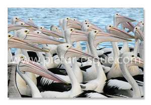 Pelicans Notecards