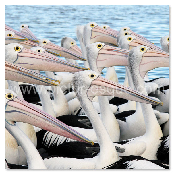 Pelicans in Australia by Charlotte Gale