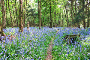 Bluebell Wood Canvas by Charlotte Gale