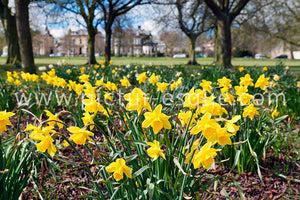 Harrogate Stray Daffodils Canvas
