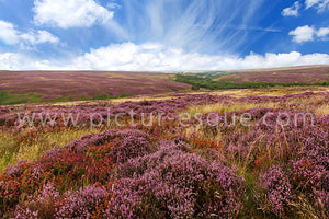 Heather on the North York Moors Canvas