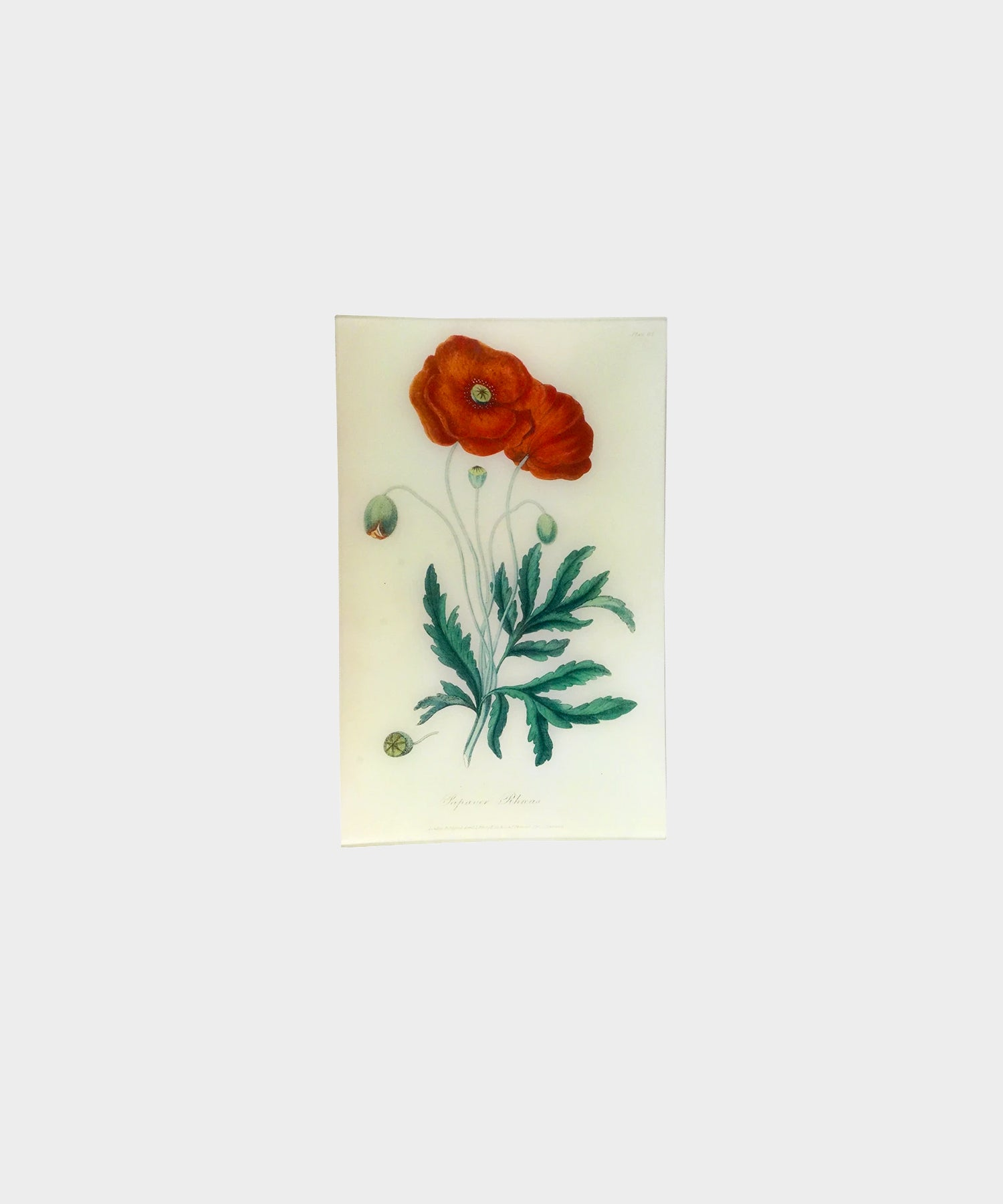 John Derian Poppy - Papaver Rheas (History Of Plants) Tray