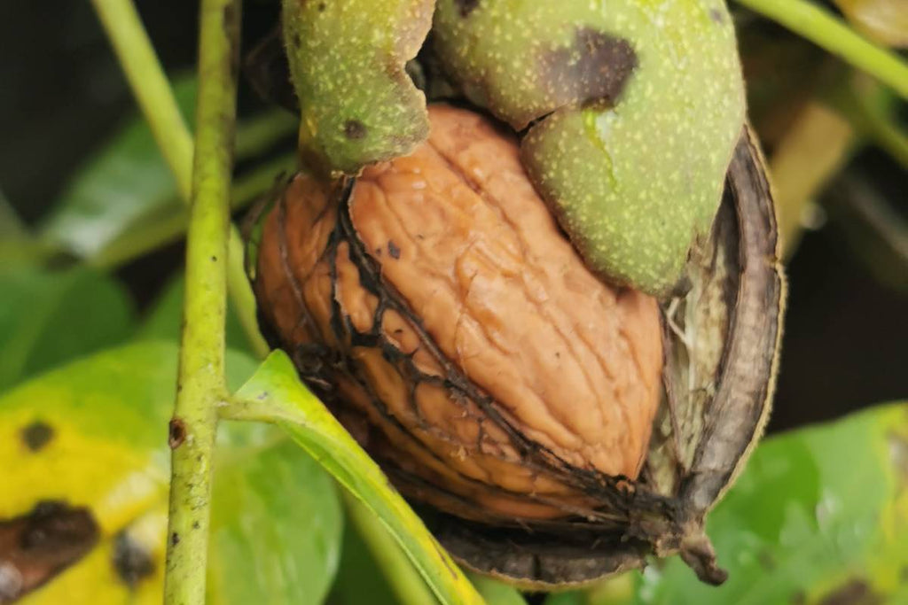 Harvesting, Cracking & Eating Walnuts