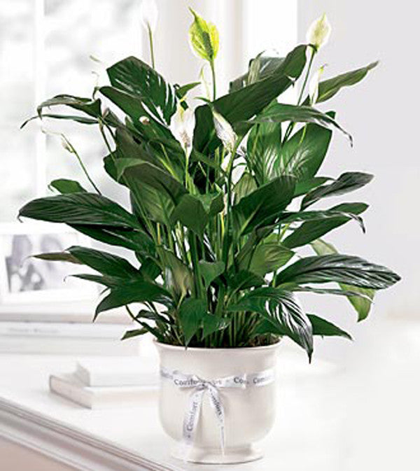 Peace Lilly in Comfort Planter