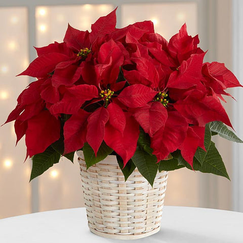 6 1/2 INCH Red Poinsettia Basket or wrapped in foil with a beautiful bow