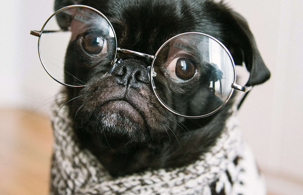 black pug in glasses