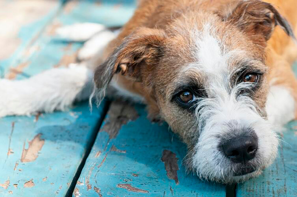 Can You Give Dogs Paracetamol?