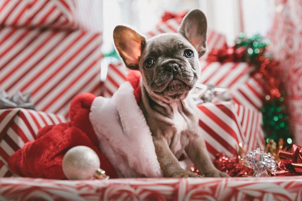 grey puppy inside Santa hat