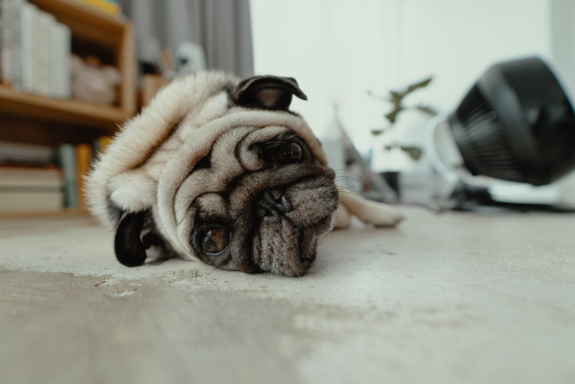 Sad pug laying on floor