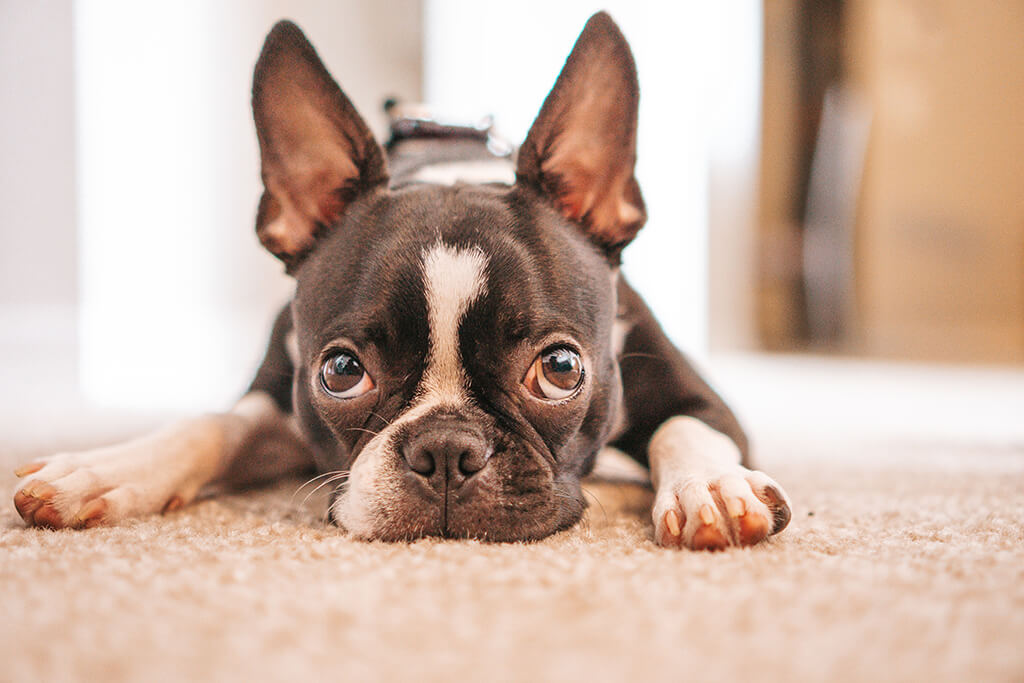 Boston Terrier laying on floor