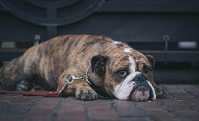 How To Settle A Dog's Upset Stomach